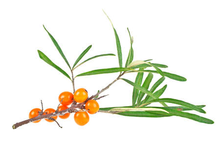 Sea buckthorn berries branch with leaves isolated on white background