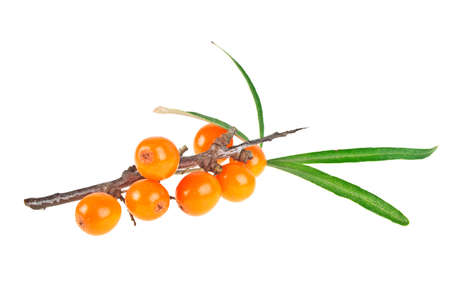 argousier: Sea buckthorn berries branch with leaves isolated on white background
