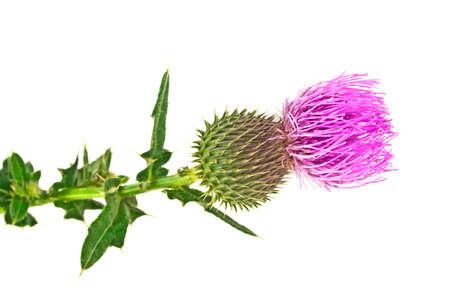 thistle plant: Milk Thistle plant (Silybum marianum) herbal remedy. Scotch thistle, Cardus marianus, Blessed milk thistle, Marian Thistle, Mary Thistle, Saint Marys Thistle