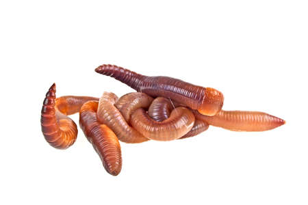 gusanos: Earth worms isolated on white background