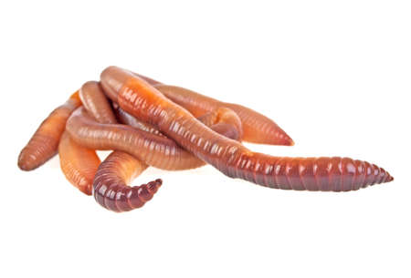wigglers: Earth worms isolated on white background