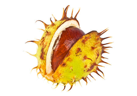 horse chestnut seed: Chestnut with crust on a white background