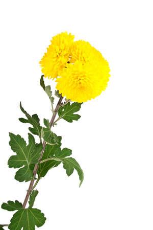 marguerite: Yellow chrysanthemum flowers isolated on white background Stock Photo