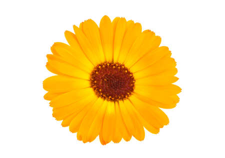 pot marigold: Calendula. Marigold flower with leaves isolated on a white background Stock Photo