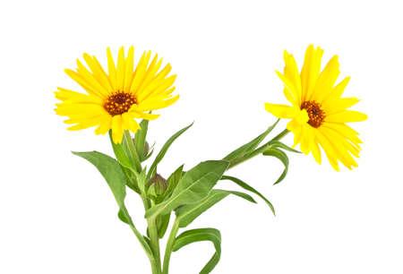 anti season: Calendula. Marigold flower with leaves isolated on a white background Stock Photo