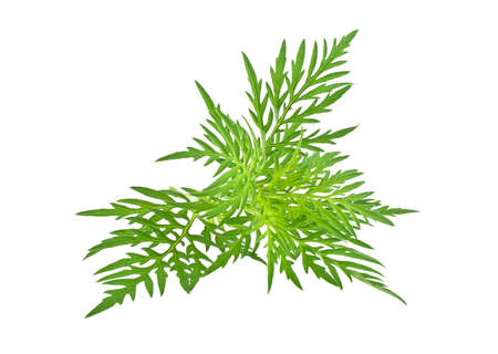 fever plant: Ragweed plant in allergy season isolated on white background, common allergen Stock Photo