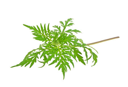 Ragweed plant in allergy season isolated on white background, common allergen Stock Photo