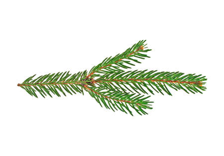 larch tree: Fir tree branch isolated on a white background
