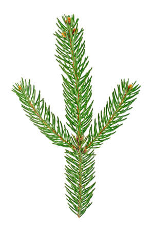 bough: Fir tree branch isolated on a white background