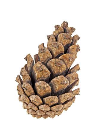 cedro: cono de pino marrón aisladas sobre fondo blanco