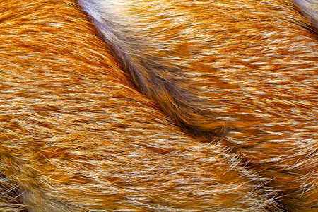 fox fur: Texture of red fox fur, close up