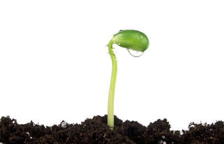 chit: Young sprout of soy in soil humus on a white background Stock Photo