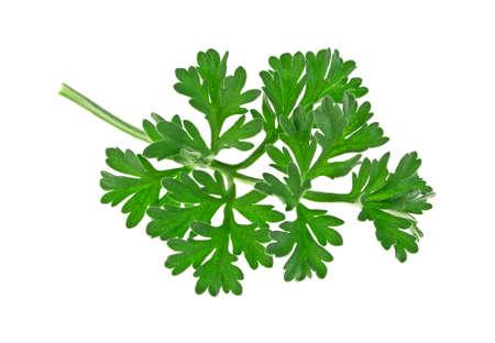 ajenjo: Single sagebrush leaf isolated on a white background
