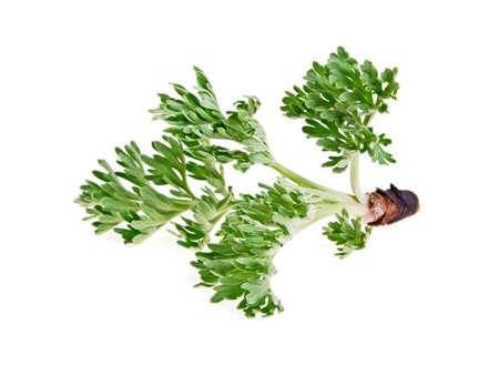 Sagebrush sprig isolated on white background Stock Photo