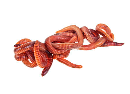 squirm: Red worms on a white background