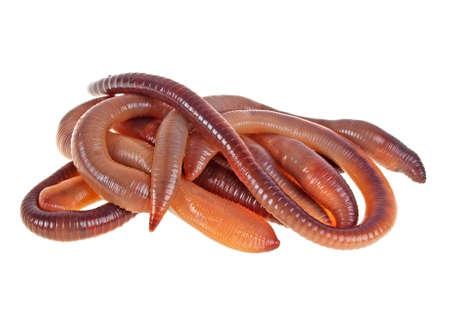 Dierlijke die aardewormen op witte achtergrond worden geïsoleerd