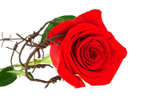 Barbed wire with red rose on a white background