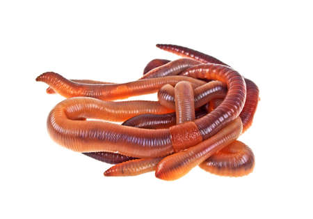Earth worms on a white background Stock Photo