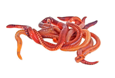 Earth worms on a white background, close up