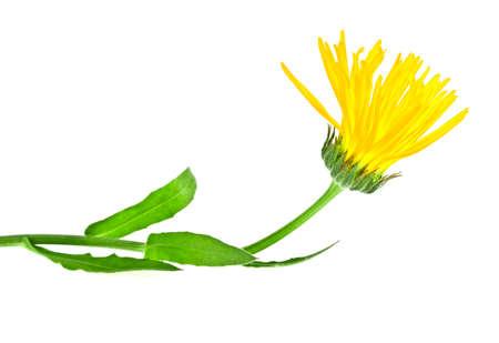 pot marigold: Yellow Calendula. Marigold flower on a white background. Stock Photo