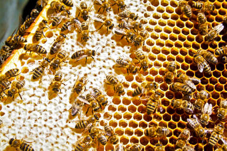 Bees swarming on a honeycomb Stock Photo