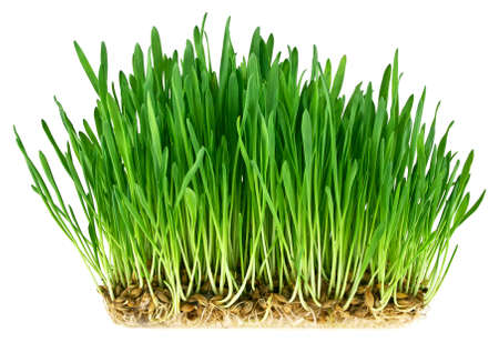 Green grass germination from wheat grains with roots. Image on a white background. Stock Photo