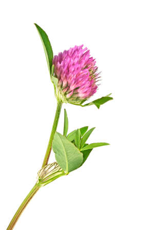 Clover or trefoil flower medicinal herbs isolated on a white background