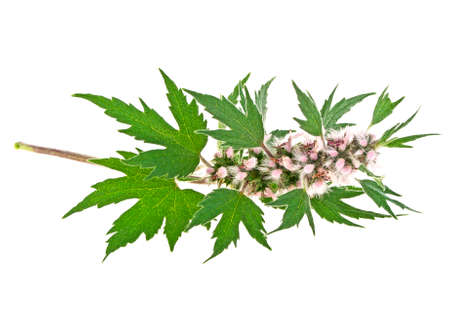Blooming Leonurus cardiaca or motherwort on a white background Stok Fotoğraf