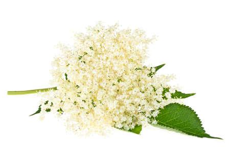 ニワトコの花が白地に葉します。 写真素材