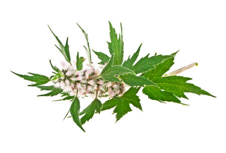 Blooming Leonurus cardiaca or motherwort on a white background Stockfoto
