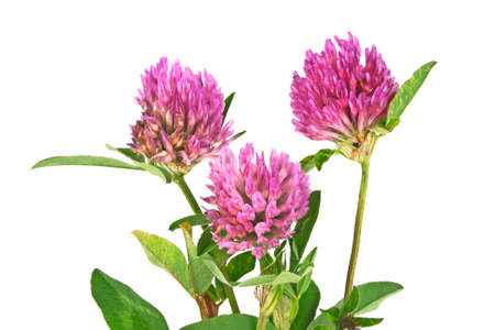 trifolium: Clover or trefoil flowers medicinal herbs isolated on a white background