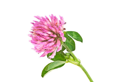 Clover flowers isolated on white background