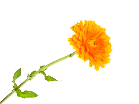 Calendula. Marigold plant with leaves isolated on white background. Reklamní fotografie