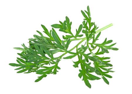 Sagebrush sprig isolated on a white background