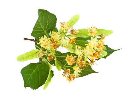 Linden flowers and leaves on a white background
