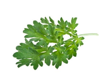 ajenjo: Plantas medicinales. Artemisa. Planta de ajenjo sobre un fondo blanco.