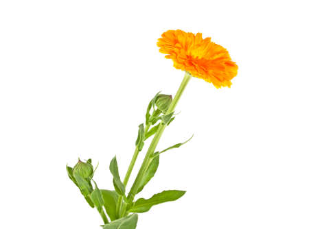 Marigold flower with leaves isolated on a white background. Calendula.
