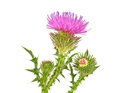 Big white thistle blossom with green leafs stock photo picture and thistles flower and bud isolated on white background photo mightylinksfo