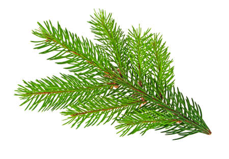 Pine tree branch isolated on white background Stock Photo