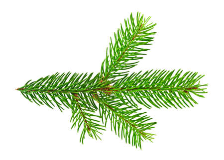 Branch of fir tree on white background Stock Photo