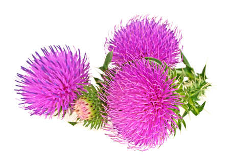 Milk thistle flowers isolated on a white background Banco de Imagens