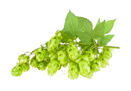 brewery: Fresh branches hop with leaves isolated on a white background