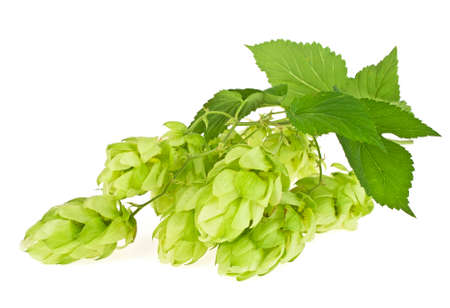 brewery: Hop cones isolated on a white background