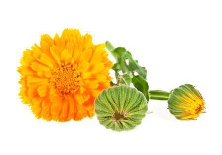 Flowers of calendula isolated on a white background