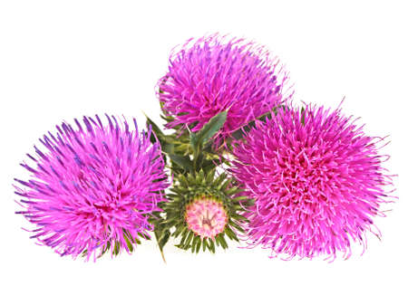 Flowers thistle isolated on a white background Stock Photo