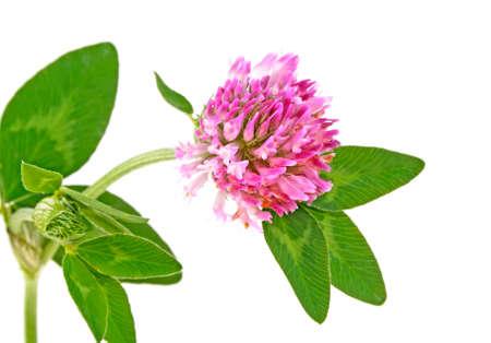 Medicinal herbs - Clover flower isolated on white background. Trefoil flower.