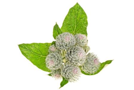 Le teste spinose di bardana fiorisce su fondo bianco, fine su Archivio Fotografico - 89532564
