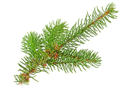 Twig of evergreen fir on white background. Fir-tree branch. Stock Photo