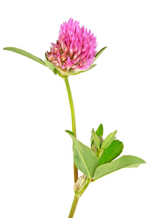 Clover or trefoil flower isolated on white background,  medicinal herbs