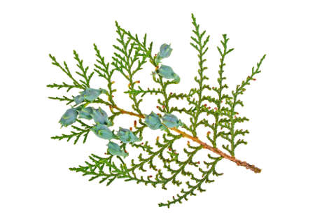 Twig of thuja on a white background